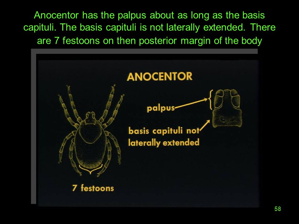 Anocentor has the palpus about as long as the basis capituli
