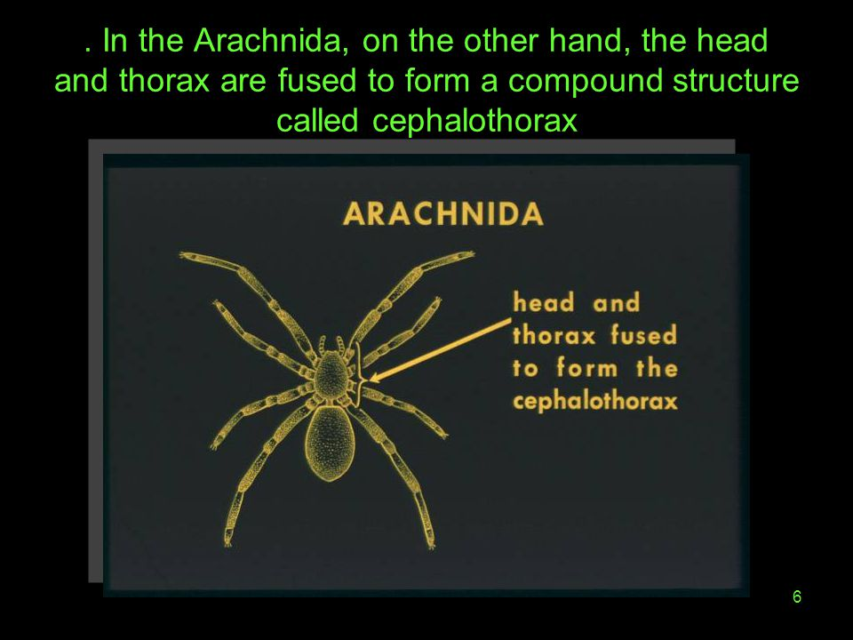 . In the Arachnida, on the other hand, the head and thorax are fused to form a compound structure called cephalothorax