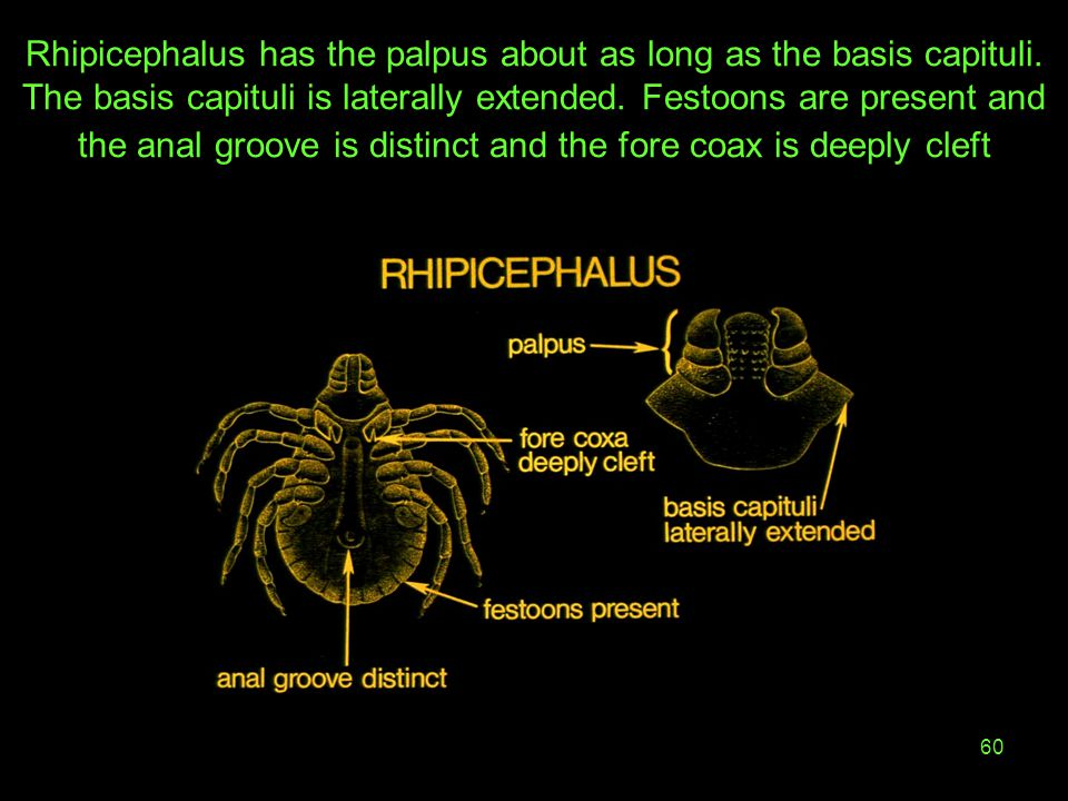 Rhipicephalus has the palpus about as long as the basis capituli