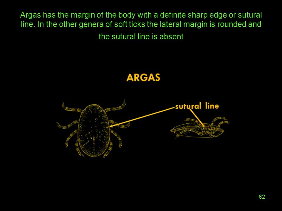 Argas has the margin of the body with a definite sharp edge or sutural line.