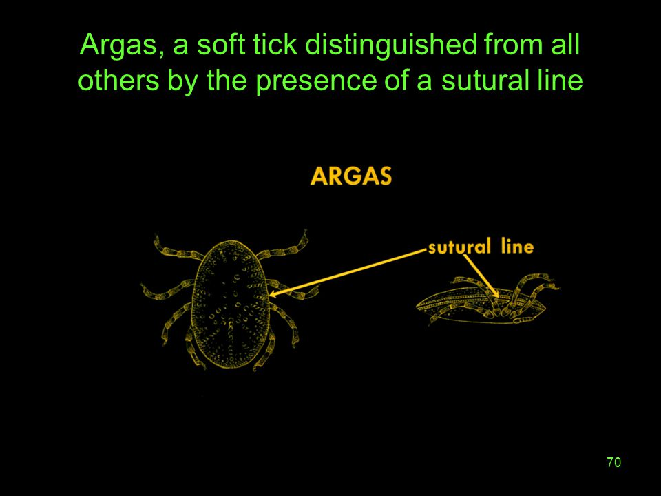 Argas, a soft tick distinguished from all others by the presence of a sutural line
