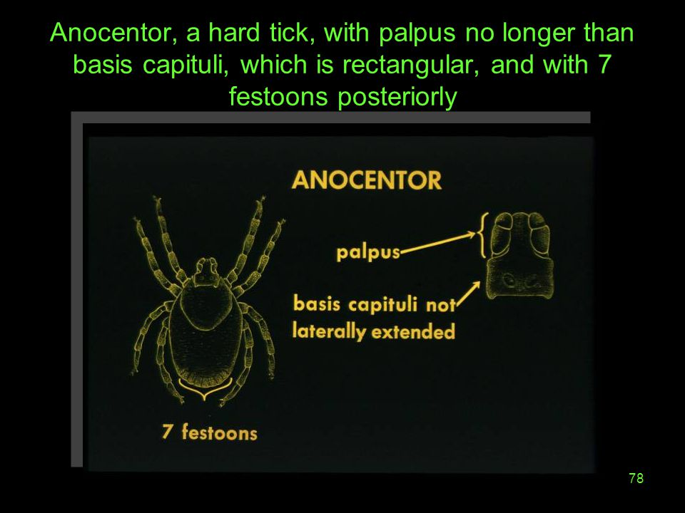 Anocentor, a hard tick, with palpus no longer than basis capituli, which is rectangular, and with 7 festoons posteriorly
