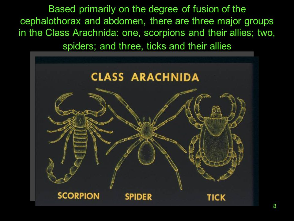 Based primarily on the degree of fusion of the cephalothorax and abdomen, there are three major groups in the Class Arachnida: one, scorpions and their allies; two, spiders; and three, ticks and their allies