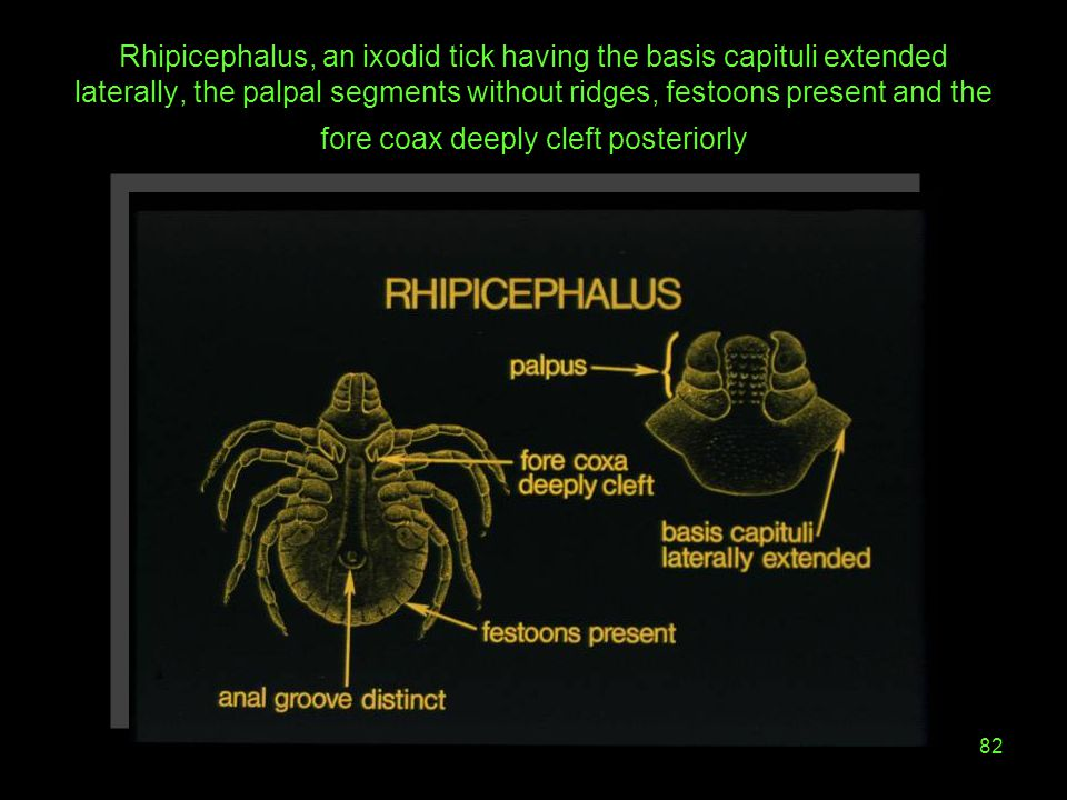 Rhipicephalus, an ixodid tick having the basis capituli extended laterally, the palpal segments without ridges, festoons present and the fore coax deeply cleft posteriorly