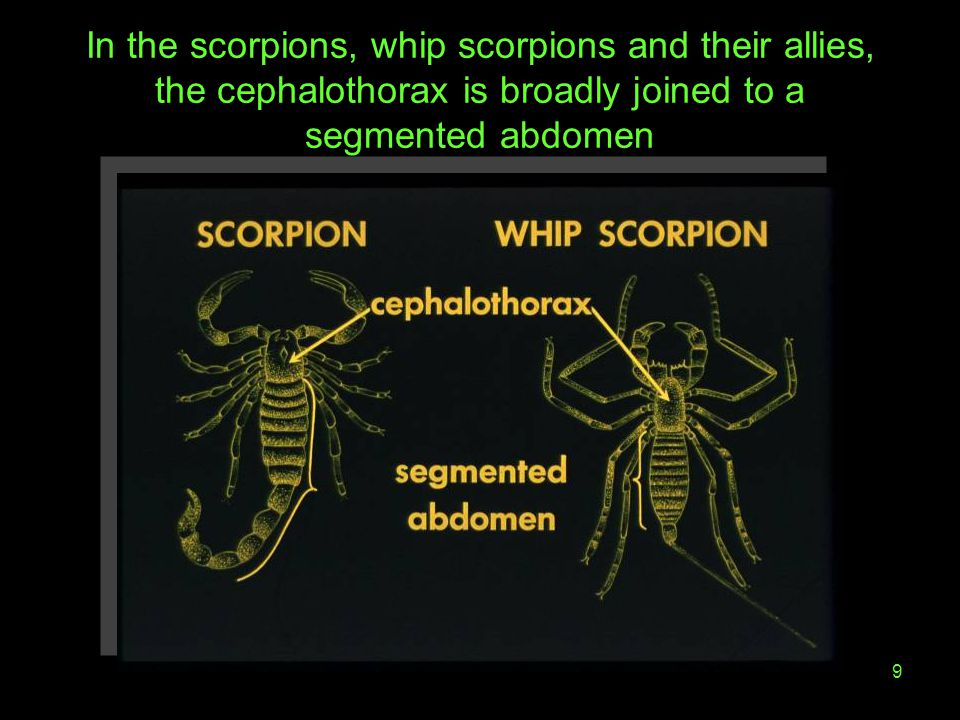 In the scorpions, whip scorpions and their allies, the cephalothorax is broadly joined to a segmented abdomen