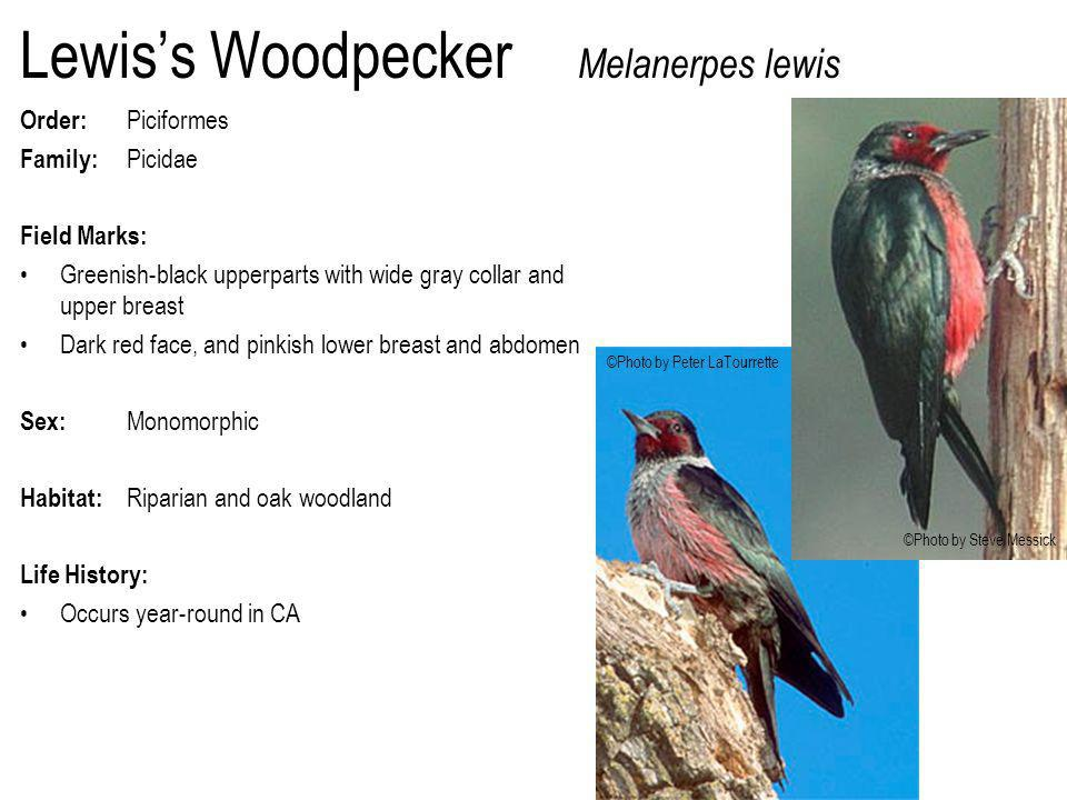 Lewis's Woodpecker Melanerpes lewis