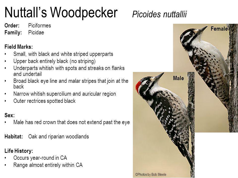 Nuttall's Woodpecker Picoides nuttallii