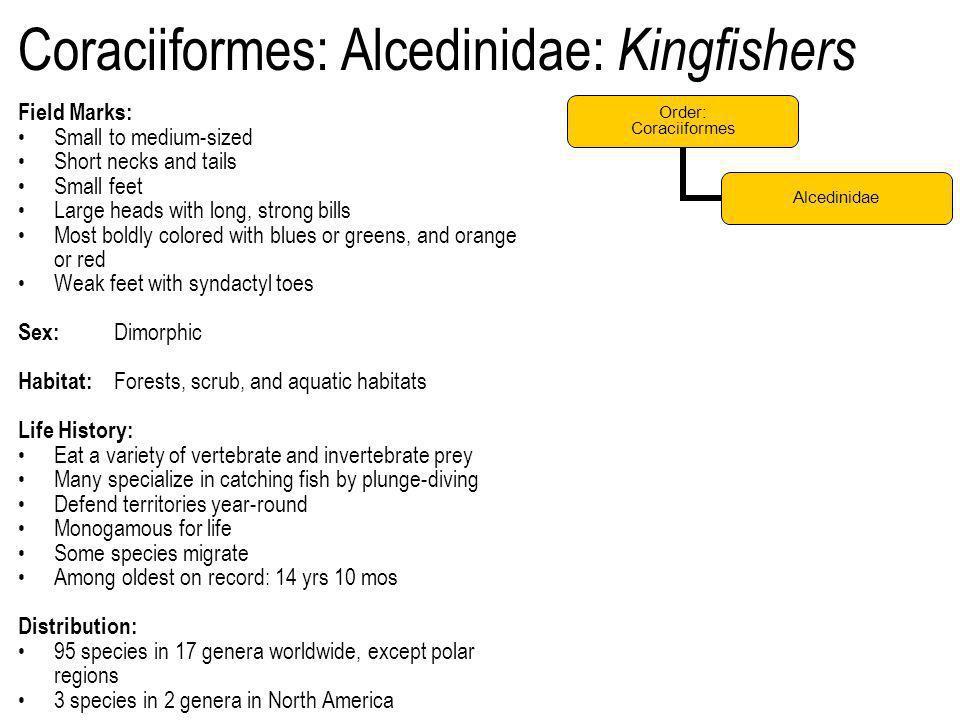 Coraciiformes: Alcedinidae: Kingfishers