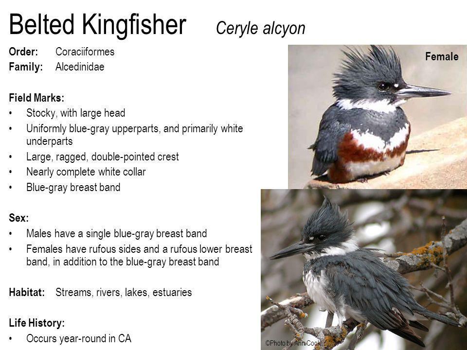 Belted Kingfisher Ceryle alcyon