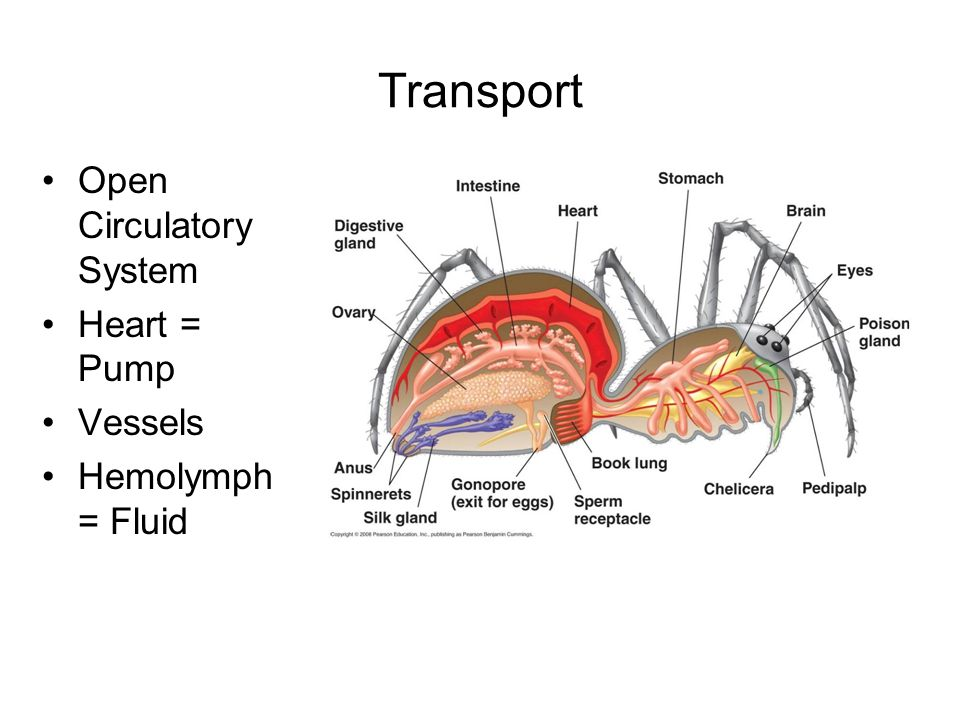 Transport Open Circulatory System Heart = Pump Vessels