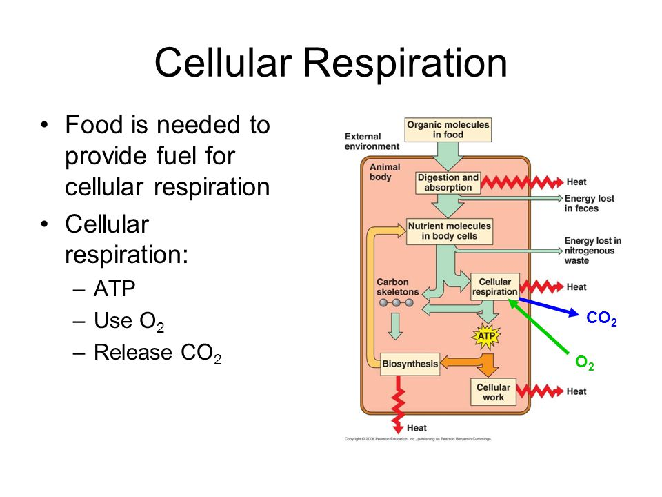 Cellular Respiration Food is needed to provide fuel for cellular respiration. Cellular respiration: