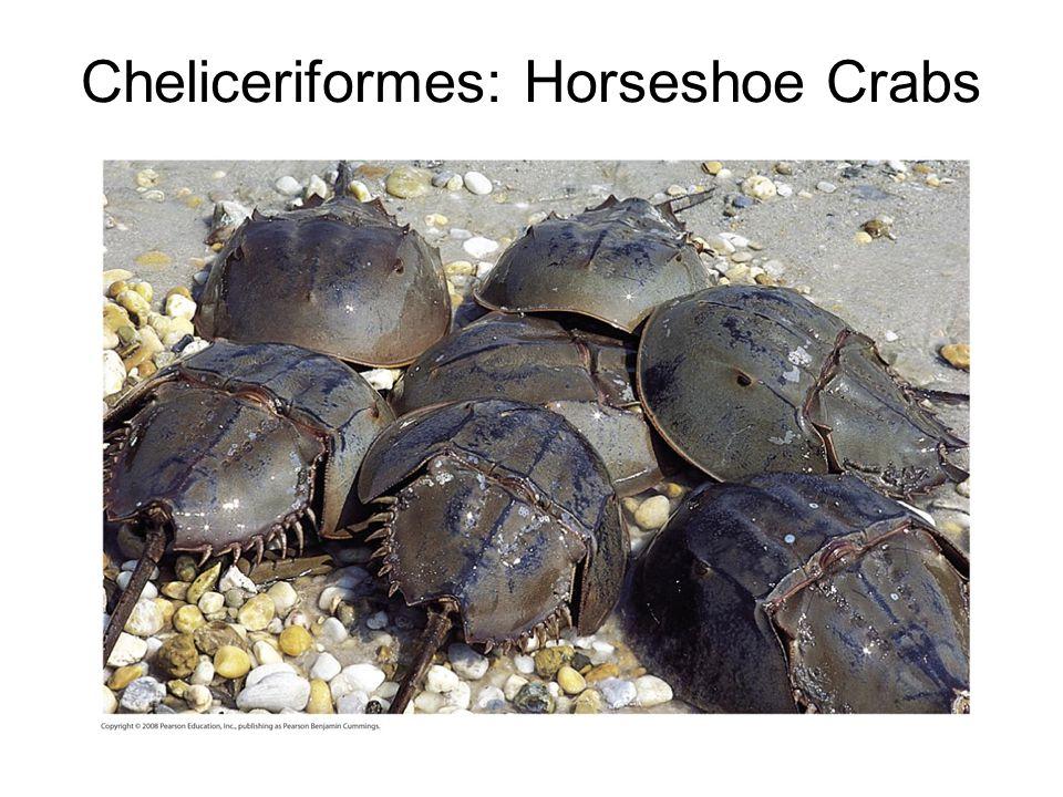 Cheliceriformes: Horseshoe Crabs