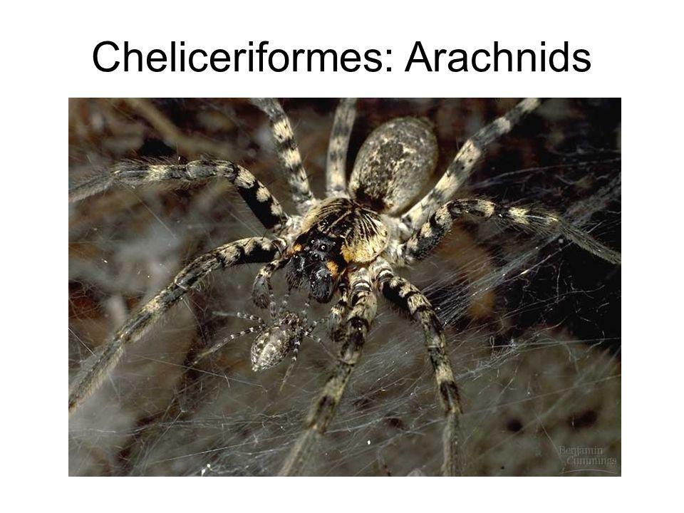 Cheliceriformes: Arachnids