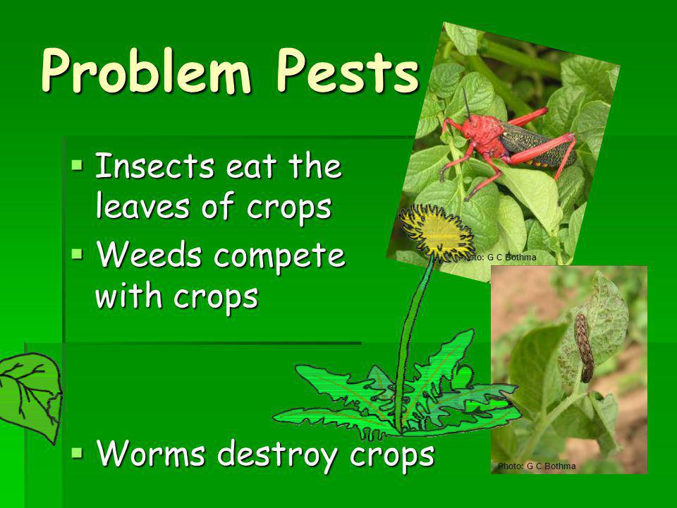 Problem Pests Insects eat the leaves of crops Weeds compete with crops
