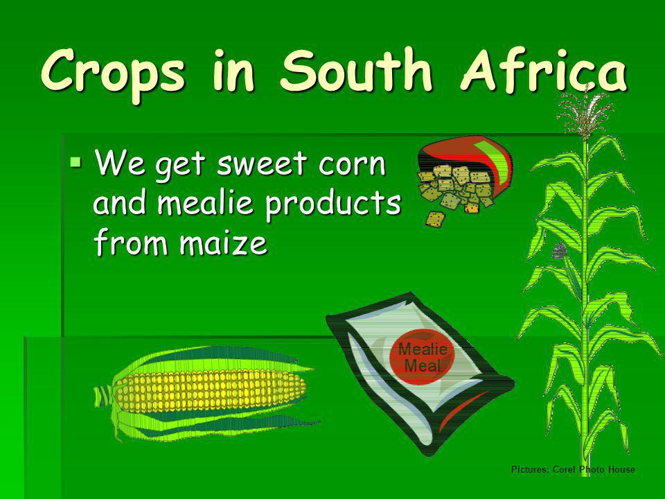 Crops in South Africa We get sweet corn and mealie products from maize