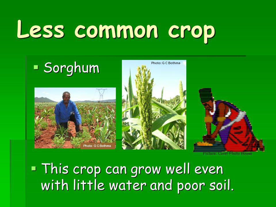 Less common crop Sorghum