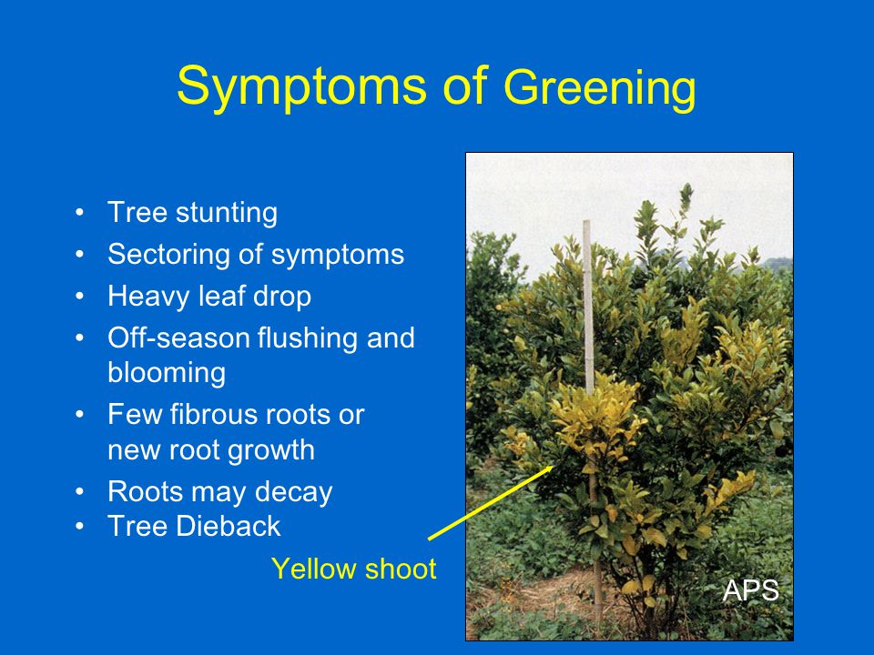 Symptoms of Greening Tree stunting Sectoring of symptoms