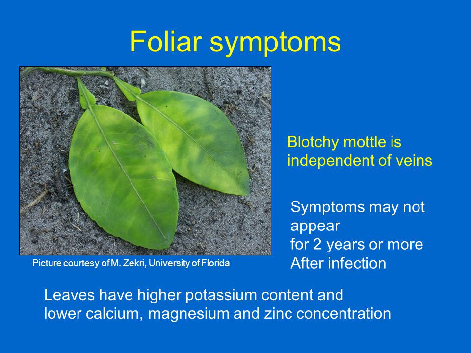Foliar symptoms Blotchy mottle is independent of veins