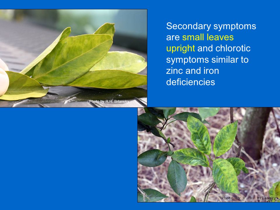 Secondary symptoms are small leaves