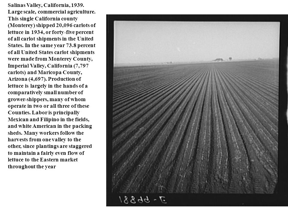 Salinas Valley, California, 1939. Large scale, commercial agriculture