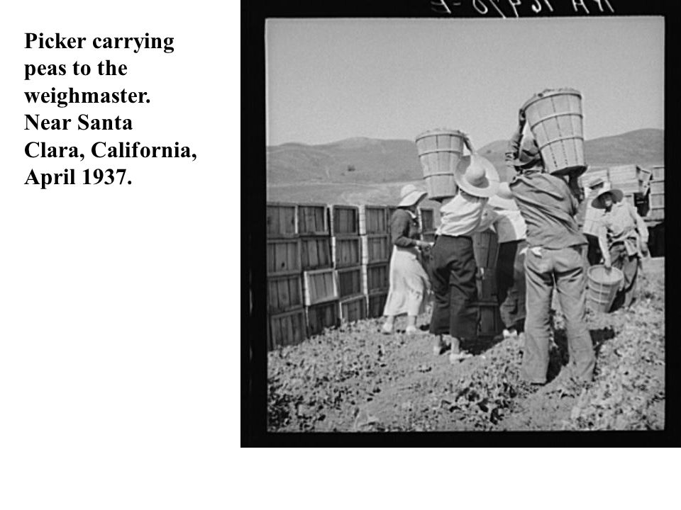 Picker carrying peas to the weighmaster. Near Santa Clara, California,