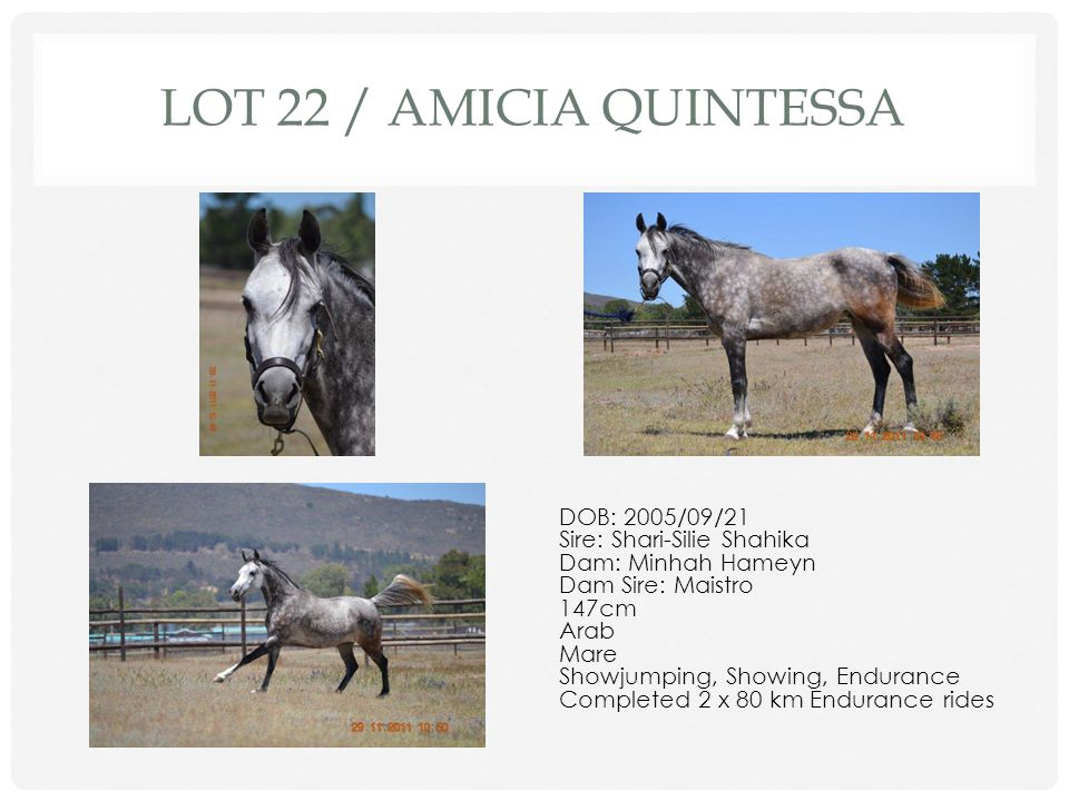 Lot 22 / Amicia Quintessa DOB: 2005/09/21 Sire: Shari-Silie Shahika