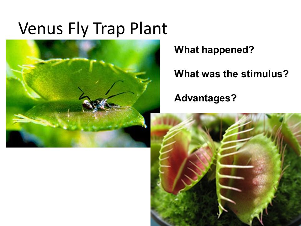 Venus Fly Trap Plant What happened What was the stimulus Advantages