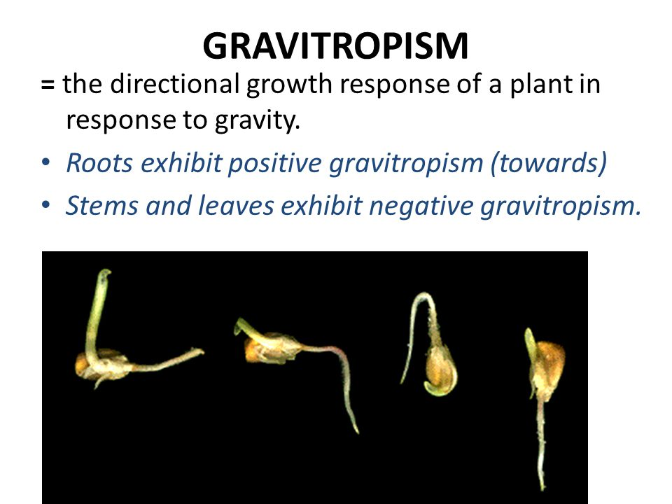 GRAVITROPISM = the directional growth response of a plant in response to gravity. Roots exhibit positive gravitropism (towards)