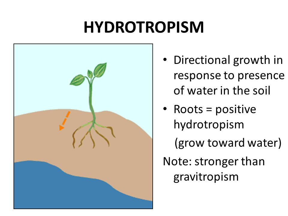 HYDROTROPISM Directional growth in response to presence of water in the soil. Roots = positive hydrotropism.