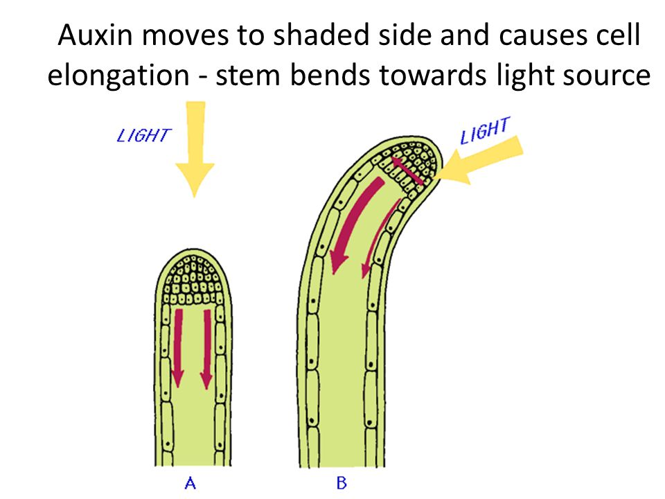 Auxin moves to shaded side and causes cell elongation - stem bends towards light source