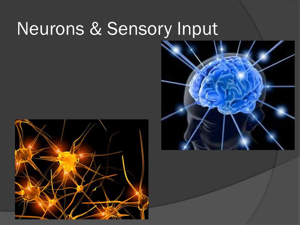 Neurons & Sensory Input