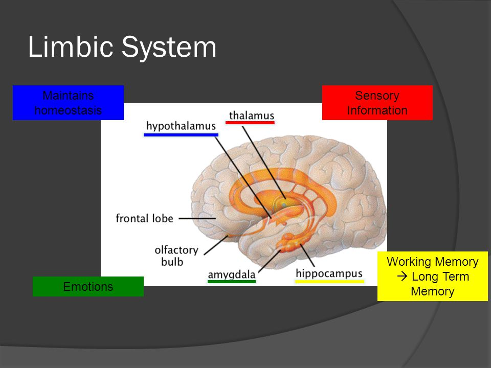 Limbic System Maintains homeostasis Sensory Information