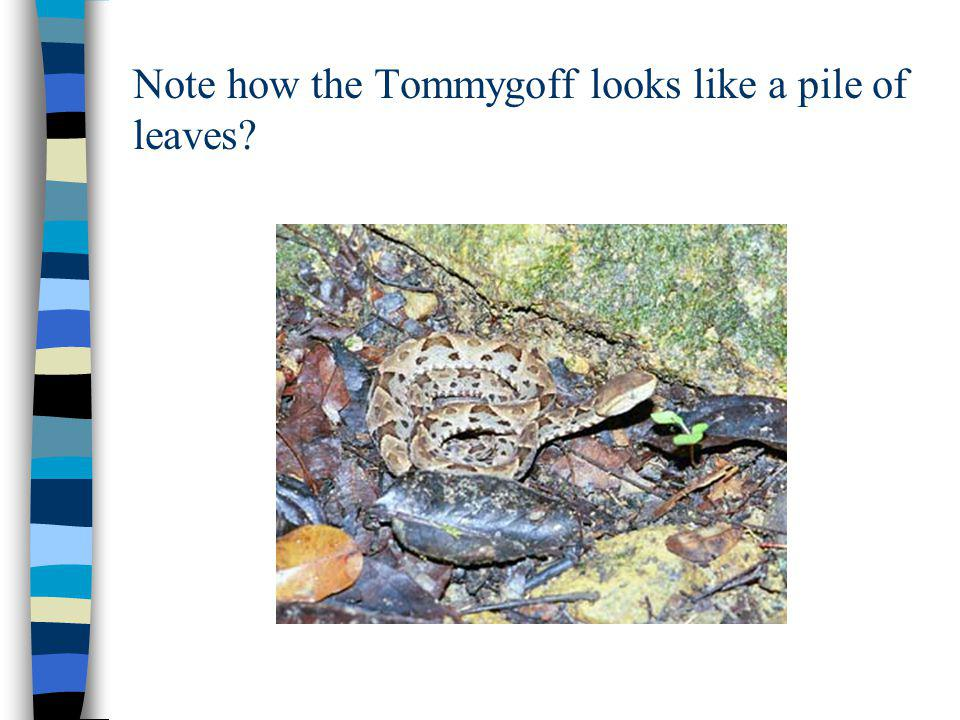 Note how the Tommygoff looks like a pile of leaves