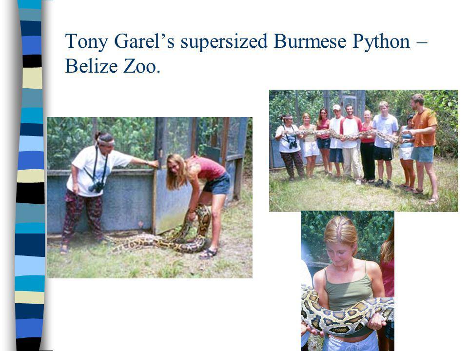 Tony Garel's supersized Burmese Python – Belize Zoo.