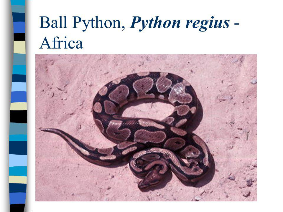 Ball Python, Python regius - Africa