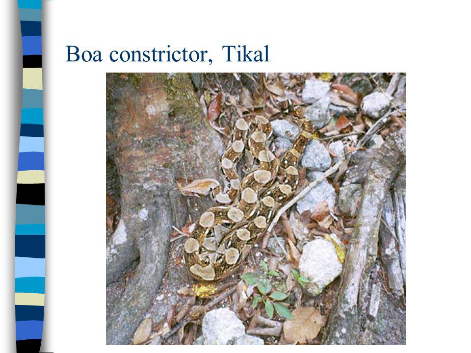 Boa constrictor, Tikal