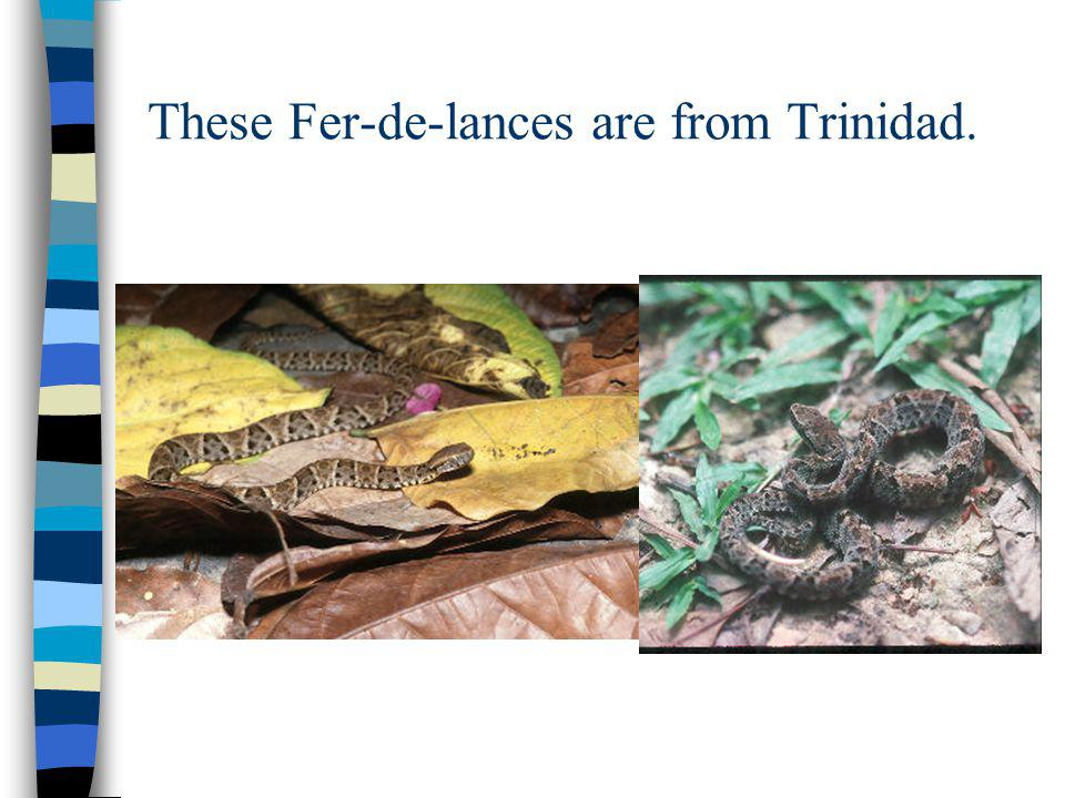 These Fer-de-lances are from Trinidad.