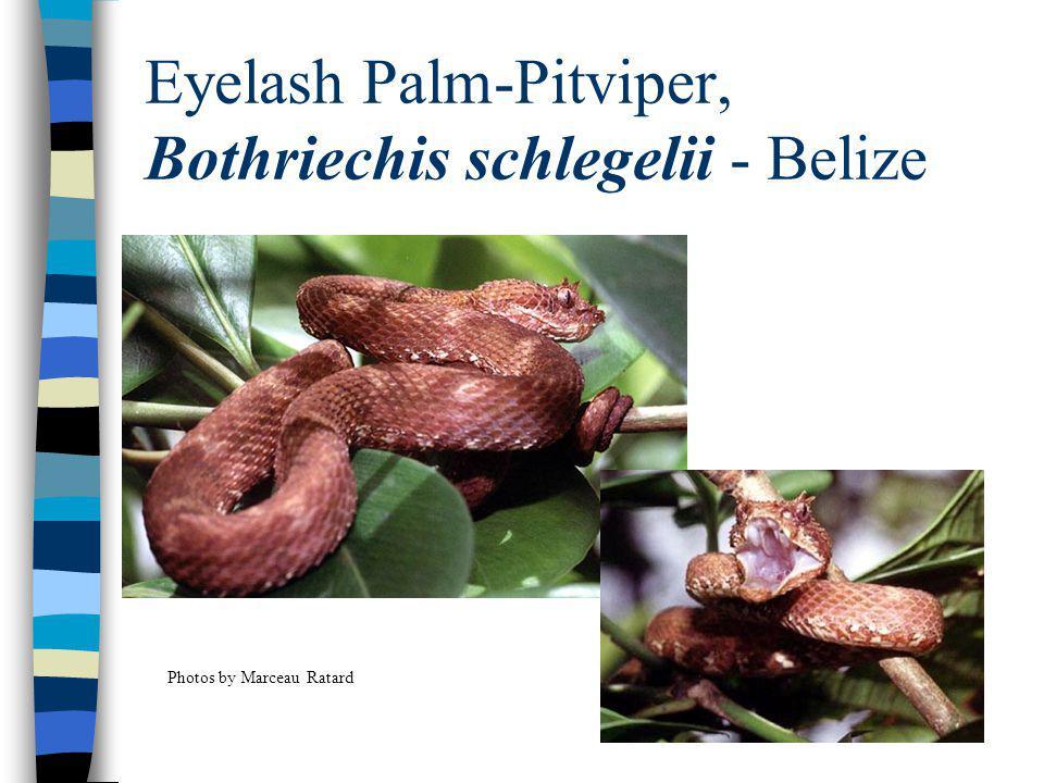 Eyelash Palm-Pitviper, Bothriechis schlegelii - Belize