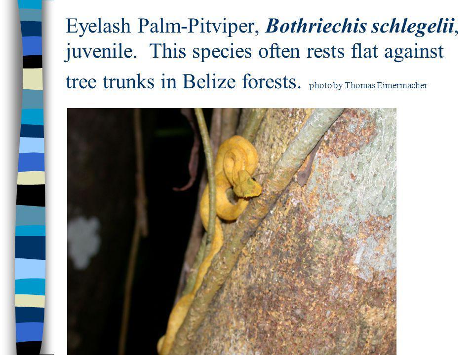 Eyelash Palm-Pitviper, Bothriechis schlegelii, juvenile