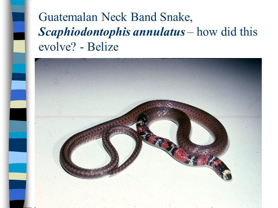 Guatemalan Neck Band Snake, Scaphiodontophis annulatus – how did this evolve - Belize