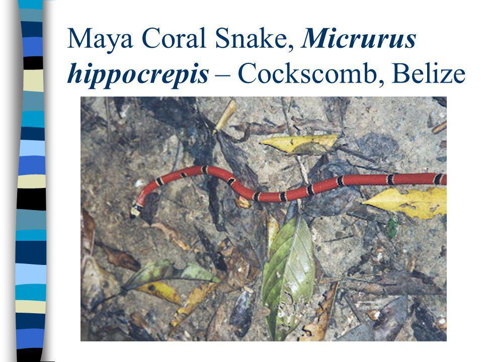 Maya Coral Snake, Micrurus hippocrepis – Cockscomb, Belize