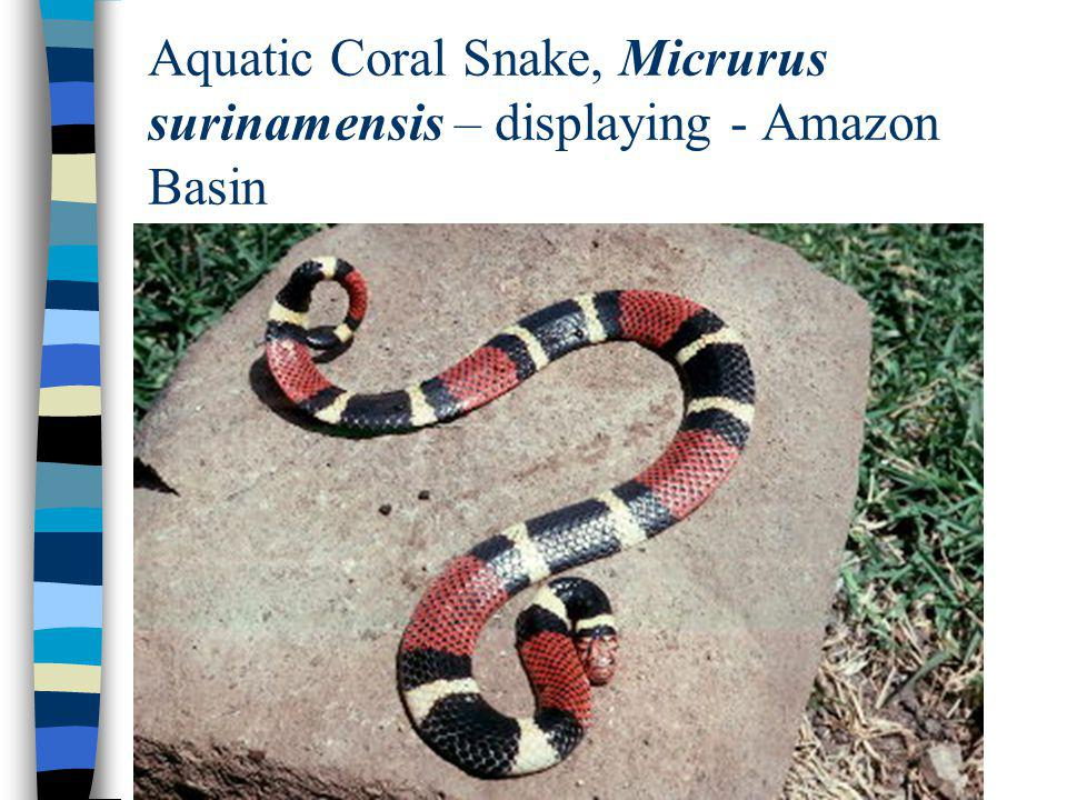Aquatic Coral Snake, Micrurus surinamensis – displaying - Amazon Basin