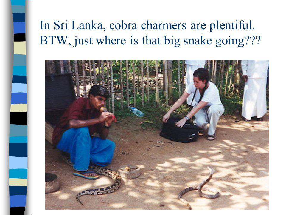 In Sri Lanka, cobra charmers are plentiful