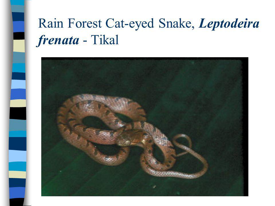 Rain Forest Cat-eyed Snake, Leptodeira frenata - Tikal