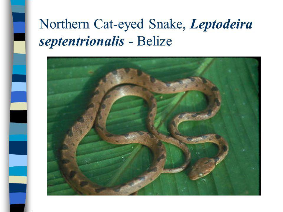 Northern Cat-eyed Snake, Leptodeira septentrionalis - Belize
