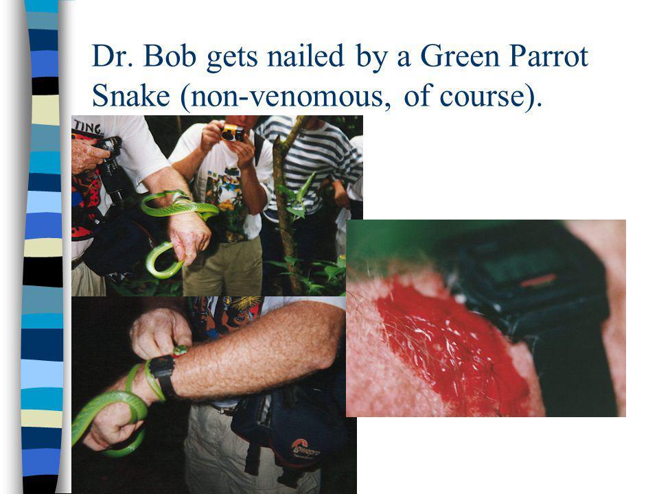 Dr. Bob gets nailed by a Green Parrot Snake (non-venomous, of course).
