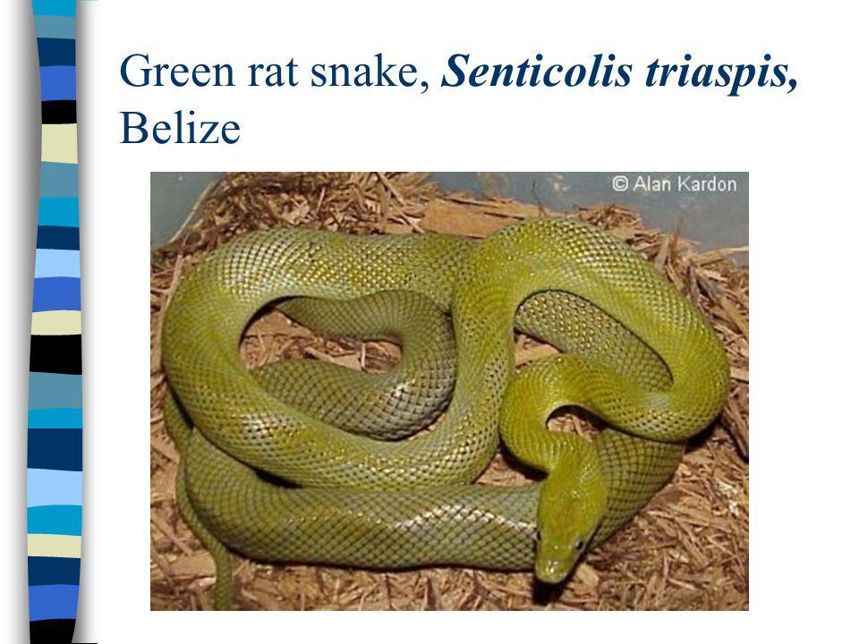 Green rat snake, Senticolis triaspis, Belize