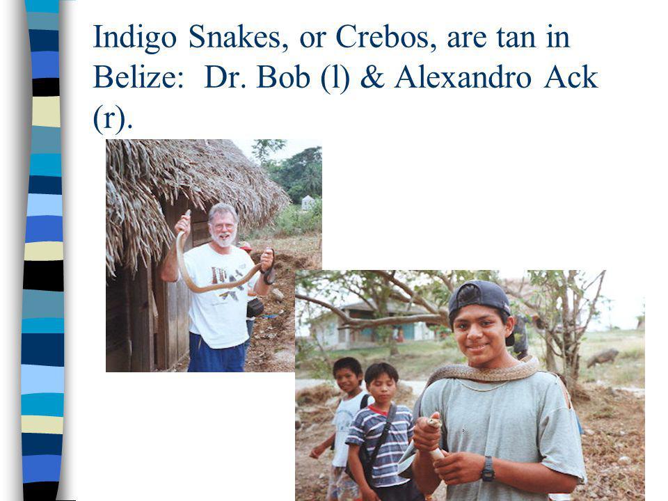 Indigo Snakes, or Crebos, are tan in Belize: Dr