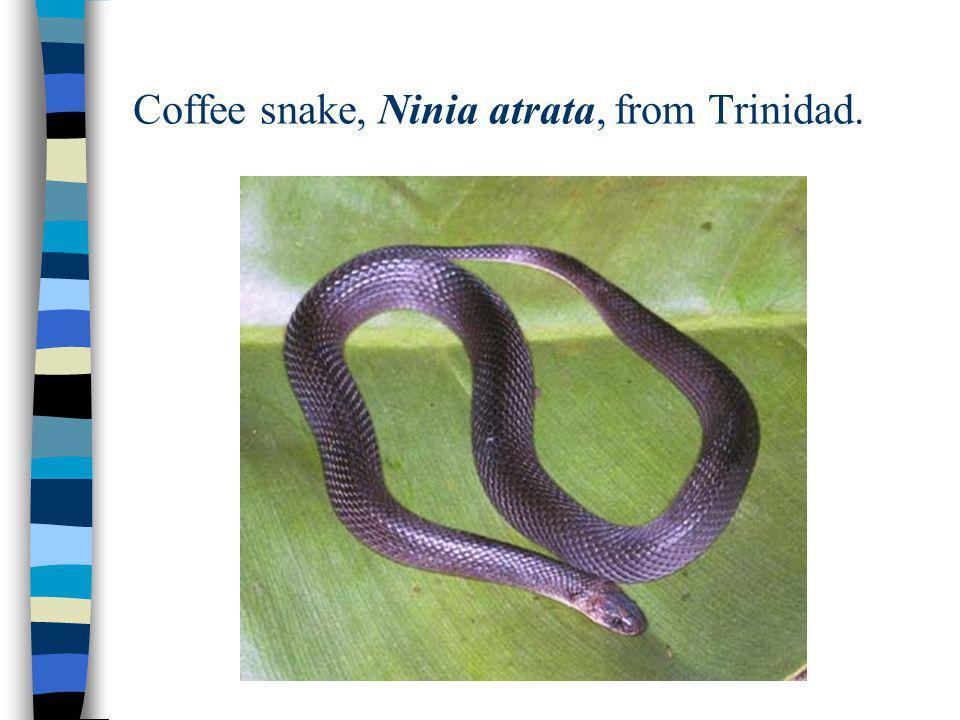 Coffee snake, Ninia atrata, from Trinidad.