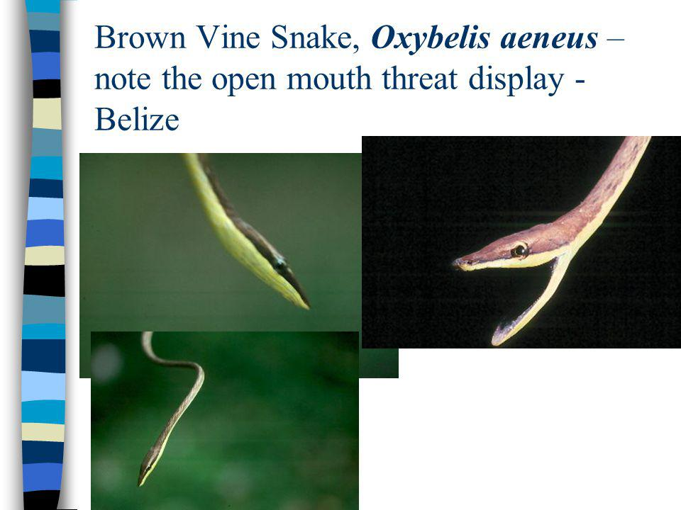 Brown Vine Snake, Oxybelis aeneus – note the open mouth threat display - Belize